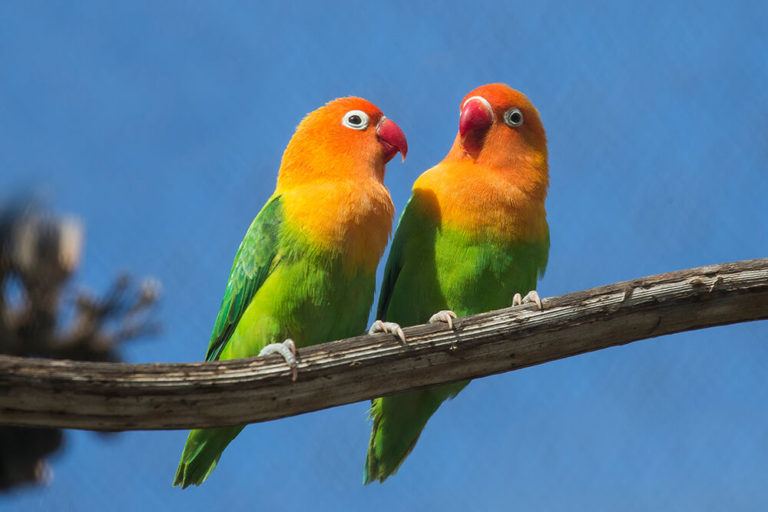 Lovebirds101: How to Keep Them Healthy and Happy?