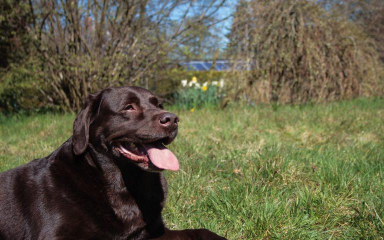 The Benefits Of Adopting A Labrador