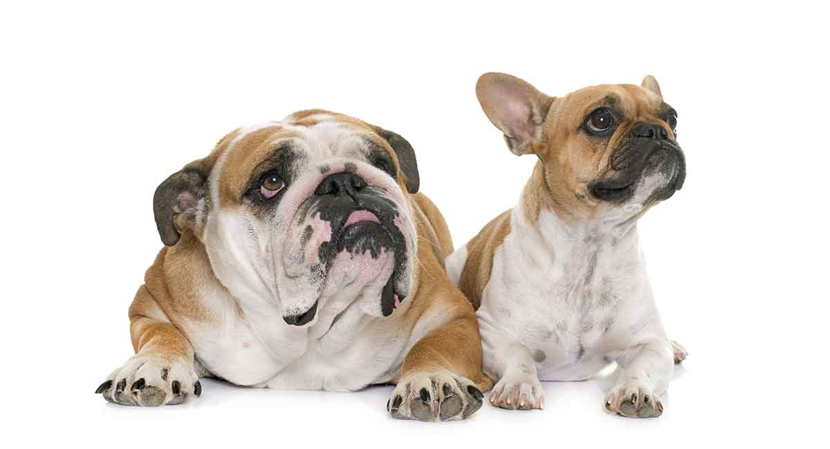 Which is better: English Bulldog or French Bulldog?