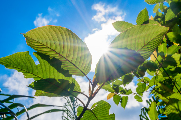 5 Important Things You Should Know About Kratom for Energy and Focus