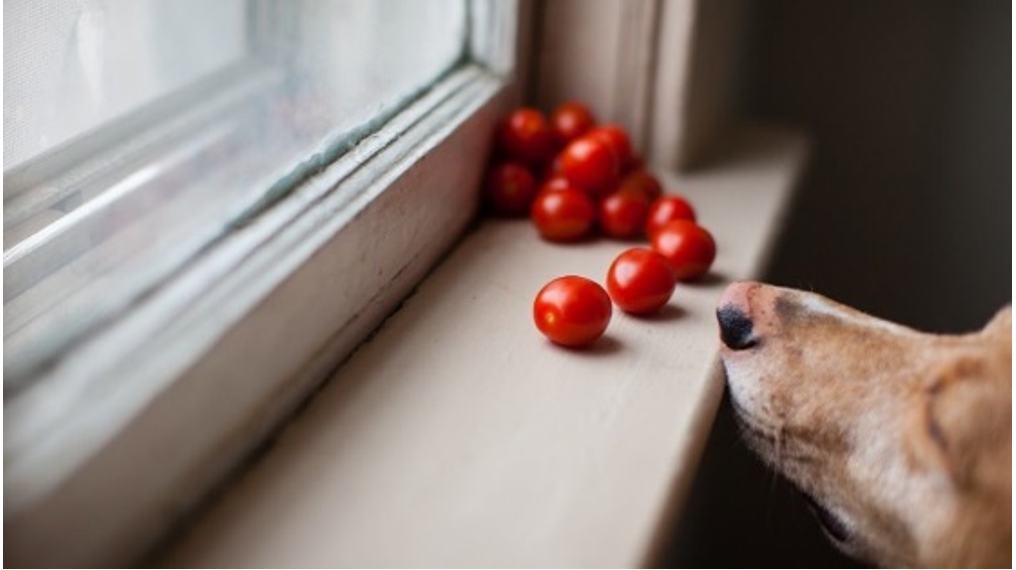 Can My Dog Eat Tomatoes?